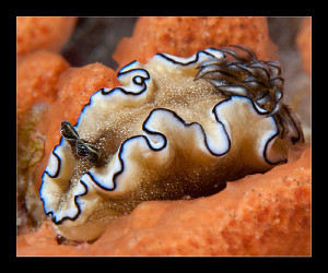 Glossodoris atromarginata by Charles Wright 